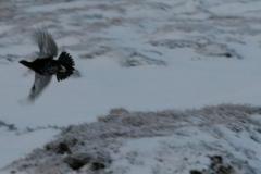grouses
